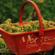 uva per la vendemmia dello champagne