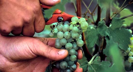 taglio uva per lo champagne