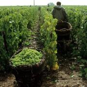 champagne vendemmia 2015 raccolta uva