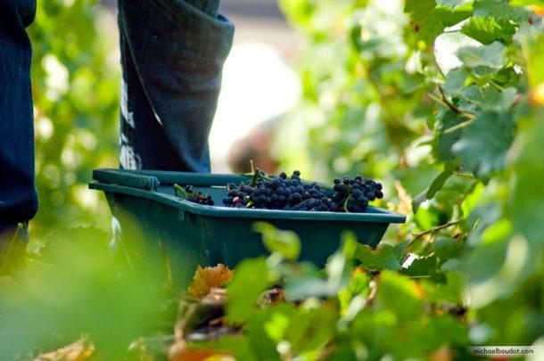 Uve Pinot Noir
