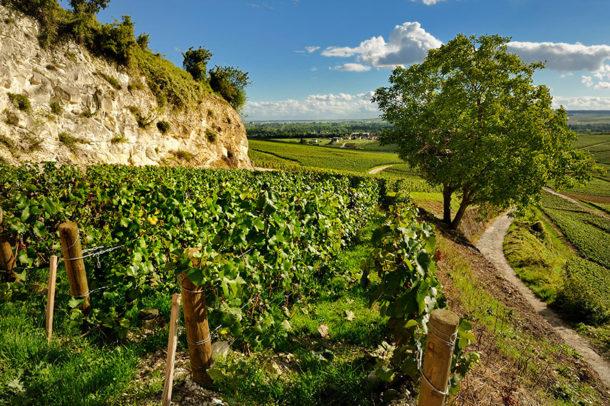 Bollinger vigne
