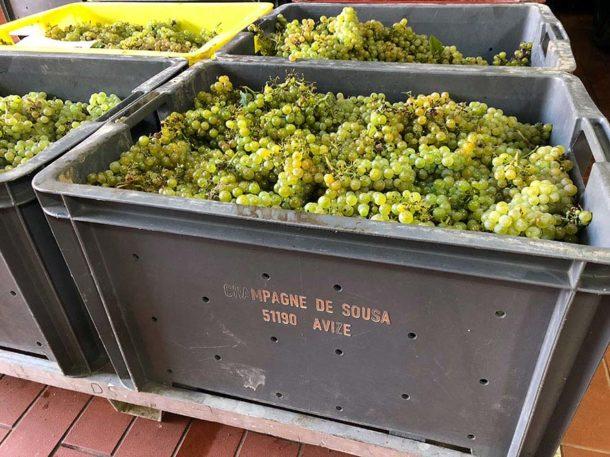 Raccolta uva in champagne